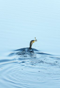 Cormorant with catch Cormorant,Phalacrocorax carbo,Phalacrocoracidae,aves,bird,UK species,British species,beak,bill,swimming,feeding,eating,catch,animal behaviour,head,hunting,predator,prey,water,ripples,Great Fen,Cambrid