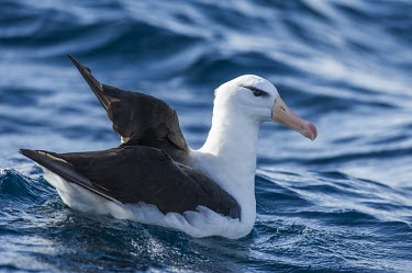 Black-browed albatross African bird,Horizontal,Outdoors,Pelagic,Seabirds,South Africa,adult,africa,african wildlife,albatross,animal,aves,avian,black-browed albatross,cape canyon,color,day,endangered,fauna,marine,oceans,orn