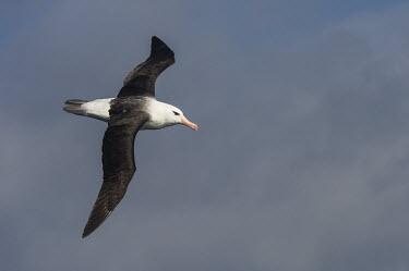 Black-browed albatross in flight African bird,Horizontal,Outdoors,Pelagic,Seabirds,South Africa,adult,africa,african wildlife,albatross,animal,aves,avian,biology,black-browed albatross,cape canyon,day,endangered,fauna,marine,oceans,o