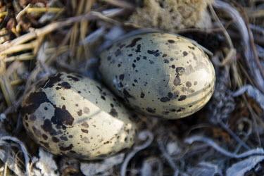 Kelp gull eggs African bird,Coastline,De Hoop Nature Reserve & Marine Protected Area,Horizontal,Kelp Gull,Marine Protected Area,Outdoors,South Africa,Western Cape,World Heritage Site,africa,african,african wildlife,
