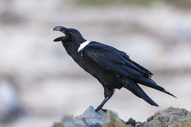 White-necked raven calling African bird,Eastern Cape,Horizontal,Marine Protected Area,National Park,Outdoors,South Africa,Storms River,Tsitsikamma Marine Protected Area,africa,african,african wildlife,animal,aves,avian,biology,