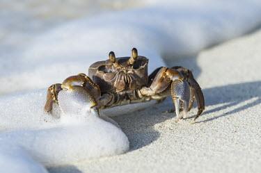 Ghost crab in waves Amirantees,D'Arros Island,Horizontal,Indian Ocean,Islands,Marine Protected Area,Seychelles,St Joseph Atoll,atoll,coast,coral island,day,ghost crab,ocean,oceanic,ocypode ceratophthalma,tropical islands