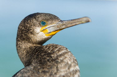 Cape cormorant head close-up African bird,Beauty in Cape Cormorant,Coastline,Outdoors,South Africa,Western Cape,africa,african,african wildlife,animal,aves,avian,biology,day,fauna,harbor,no people,one,ornithological,ornithology,s