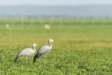 A blue crane pair African bird,Beauty in Blue Crane,Horizontal,Outdoors,South Africa,Western Cape,africa,african,african wildlife,agriculture,agulhas plain,animal,avian,beautiful,crane,day,farmlands,fauna,graceful,nati