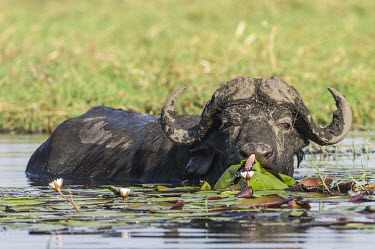 Cape buffalo bull Botswana,Cape Buffalo,Chobe,Chobe River,Feeding,Game Reserve,Horizontal,Kasane,africa,african,african animal,african mammal,african wildlife,animal,animal themes,animals in the wild,biology,chobe nati
