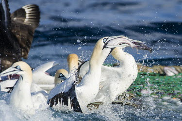 Cape gannets eating catch from fishing net African bird,Feeding,Horizontal,Outdoors,Pelagic,Seabirds,South Africa,Swallowing Fish,africa,african wildlife,animal,aves,avian,biology,cape canyon,cape gannets,color,commercial fisheries,day,deep se
