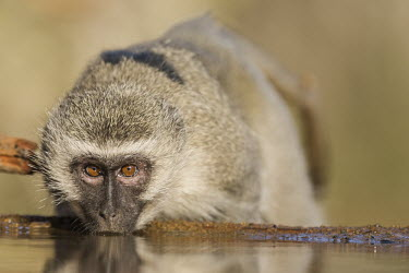 Vervet monkey drinking from a waterhole Horizontal,KwaZulu Natal,South Africa,Zimanga Game Reserve,Zululand,africa,african,african animal,african mammal,african wildlife,animal,animal themes,animals in the wild,biology,day,drinking,fauna,ma