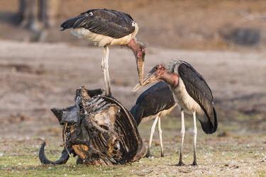 Marabou storks feeding on African buffalo carcuss African bird,Botswana,Chobe,Chobe River,Game Reserve,Horizontal,Kasane,Marabou Stork,africa,african,african wildlife,animal,aves,avian,biology,cape buffalo skeleton,chobe national park,day,fauna,natur