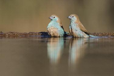 Bathing blue waxbills African bird,Horizontal,KwaZulu Natal,South Africa,Zimanga Game Reserve,Zululand,africa,african,african wildlife,animal,aves,avian,biology,blue waxbill,day,drinking,fauna,ornithological,ornithology,wa