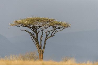 Flat-crowned Acacia tree on the top of a ridge Horizontal,KwaZulu Natal,South Africa,Zimanga Game Reserve,Zululand,acacia,africa,african,day,flat-crowned acacia,landscape,plant,scenery,scenic,tree,plantae,portrait,plants,trees,habitat,color image,