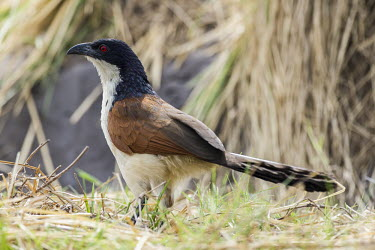 Coppery-tailed coucal African bird,Botswana,Chobe,Chobe River,Game Reserve,Horizontal,Kasane,africa,african,african wildlife,animal,aves,avian,biology,chobe national park,coppery-tailed coucal,day,fauna,nature reserve,orni