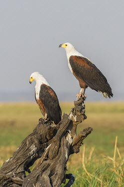 Two African fish eagles African bird,Botswana,Chobe,Chobe River,Game Reserve,Kasane,adult,africa,african,african fish eagle,african wildlife,animal,aves,avian,biology,chobe national park,day,fauna,nature reserve,ornithologic