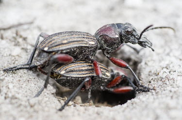 Mating beetles Beauty in Bredasdorp,Heuningberg Mountain Nature Reserve,Horizontal,Outdoors,South Africa,Western Cape,africa,african,beetle,biology,day,insect,insects,mating,reproduction,nature reserve,no people,col