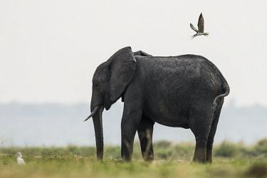 An African skimmer mobs an African elephant African Elephant,Botswana,Chobe,Chobe River,Feeding,Game Reserve,Horizontal,Kasane,africa,african,african animal,african mammal,african wildlife,animal,animal themes,animals in the wild,biology,chobe