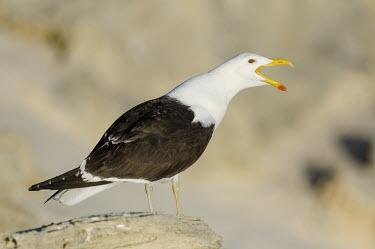 Kelp gull calling African bird,Coastline,De Hoop Nature Reserve & Marine Protected Area,Horizontal,Kelp Gull,Marine Protected Area,Outdoors,South Africa,Western Cape,World Heritage Site,africa,african,african wildlife,