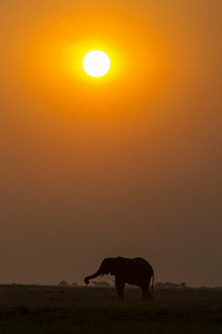 African elephant at sunset African Elephant,Botswana,Chobe,Chobe River,Feeding,Game Reserve,Kasane,Nature Silhouette,Silhouette,africa,african,african animal,african mammal,african wildlife,animal,animal themes,animals in the w