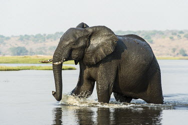 African elephant in water African Elephant,Botswana,Chobe,Chobe River,Feeding,Game Reserve,Horizontal,Kasane,africa,african,african animal,african mammal,african wildlife,animal,animal themes,animals in the wild,biology,chobe