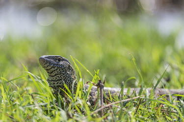 Nile monitor basking African reptile,Botswana,Chobe,Chobe River,Game Reserve,Horizontal,Kasane,africa,african,african animal,african wildlife,animal,biology,chobe national park,day,fauna,nature reserve,protected area,rept