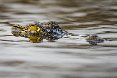 Nile crocodile African reptile,Botswana,Chobe,Chobe River,Feeding,Game Reserve,Horizontal,Kasane,africa,african,african animal,african wildlife,animal,biology,chobe national park,day,fauna,nature reserve,nile crocod