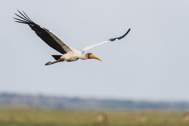 Yellow-billed stork in flight African bird,Botswana,Chobe,Chobe River,Game Reserve,Horizontal,Kasane,Yellow-Billed Stork,adult,africa,african,african wildlife,animal,aves,avian,biology,chobe national park,day,fauna,flying,landing,