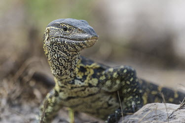 Portrait of a hunting nile monitor African reptile,Botswana,Chobe,Chobe River,Game Reserve,Horizontal,Kasane,africa,african,african animal,african wildlife,animal,biology,chobe national park,day,fauna,nature reserve,protected area,rept