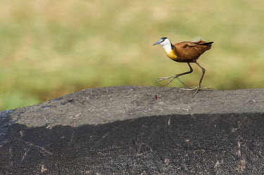 An African jacana searches for exo-parasites on the exposed back of a hippopotamus African bird,Botswana,Chobe,Chobe River,Game Reserve,Kasane,africa,african,african jacana,african wildlife,animal,aves,avian,biology,chobe national park,day,fauna,juvenile,nature reserve,ornithologica