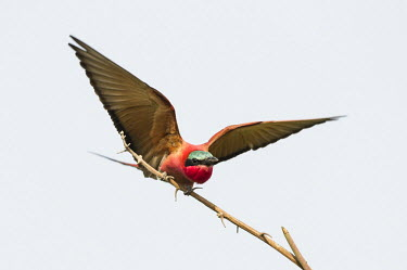 Carmine bee-eater taking to flight African bird,Botswana,Chobe,Chobe River,Game Reserve,Horizontal,Kasane,africa,african,african wildlife,animal,aves,avian,biology,carmine bee-eater,chobe national park,day,fauna,nature reserve,ornithol