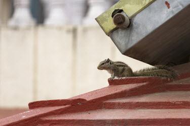 Himalayan striped squirrel in urban area himalayan striped squirrel,tamiops macclellandii,mammalia,mammal,sciuridae,squirrel,vertebrate,side profile,urban,city,industry,urbanisation,urbanization,steel,himalayas,nepal,asia,side view,least con