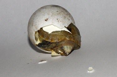 Elongated tortoise hatching Eggs,Reproduction,Young,Hatching,Omnivorous,elongata,Testudines,Terrestrial,Indotestudo,Appendix II,Reptilia,Asia,Rainforest,Testudinidae,Endangered,Animalia,Chordata,IUCN Red List
