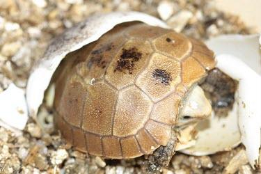 Elongated tortoise hatching Young,Reproduction,Eggs,Hatching,Omnivorous,elongata,Testudines,Terrestrial,Indotestudo,Appendix II,Reptilia,Asia,Rainforest,Testudinidae,Endangered,Animalia,Chordata,IUCN Red List