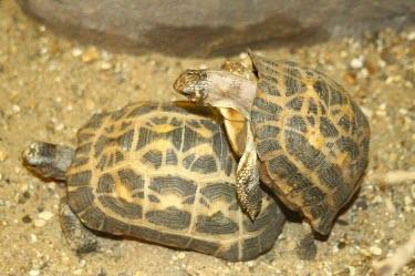 Spider tortoises mating Adult Female,Reproduction,Adult,Adult Male,Mating or Reproductive Act,Chordata,Reptilia,Terrestrial,Appendix I,Pyxis,arachnoides,Herbivorous,Animalia,Testudinidae,Testudines,Vulnerable,Africa,IUCN Red