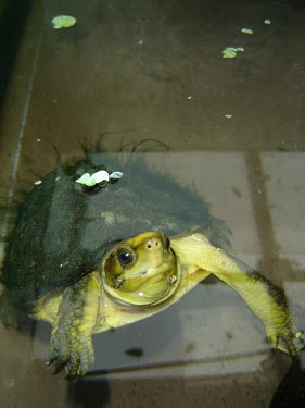 Captive yellow-headed box turtle at breeding centre Adult,Reptilia,CITES,Asia,Omnivorous,Animalia,Testudines,Geoemydidae,Terrestrial,Aquatic,Chordata,Critically Endangered,Appendix II,Fresh water,Cuora,IUCN Red List