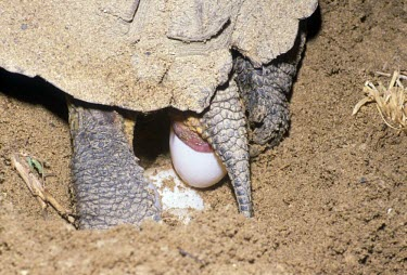 Wood turtle laying eggs Reproduction,Egg laying,Streams and rivers,Testudines,Forest,Aquatic,North America,Vulnerable,Terrestrial,Omnivorous,insculpta,Glyptemys,Reptilia,Appendix II,Animalia,Emydidae,Chordata,IUCN Red List,E