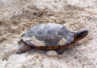 Nesting wood turtle Reproduction,Adult,Egg laying,Adult Female,Streams and rivers,Testudines,Forest,Aquatic,North America,Vulnerable,Terrestrial,Omnivorous,insculpta,Glyptemys,Reptilia,Appendix II,Animalia,Emydidae,Chord