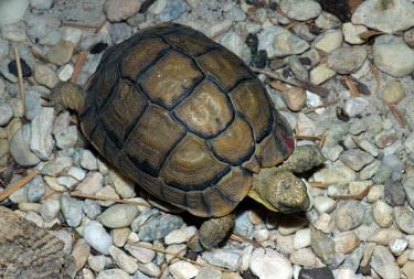 Egyptian tortoise, dorsal view James H. Harding Adult,Scrub,Testudinidae,Animalia,Semi-desert,Appendix I,Rock,Terrestrial,Chordata,Testudo,Testudines,Herbivorous,Critically Endangered,kleinmanni,Africa,Desert,Reptilia,IUCN Red List