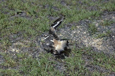 Killdeer broken wing display Defence behaviours,Survival Adaptations,Adult,Charadriidae,Lapwings, Plovers,Aves,Birds,Chordates,Chordata,Ciconiiformes,Herons Ibises Storks and Vultures,Charadrius,Marine,Aquatic,North America,Agric