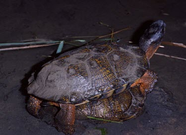 Wood turtles mating Mating or Reproductive Act,Adult Female,Adult,Adult Male,Reproduction,Streams and rivers,Testudines,Forest,Aquatic,North America,Vulnerable,Terrestrial,Omnivorous,insculpta,Glyptemys,Reptilia,Appendix