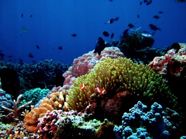 Common clownfish in coral sea,fish,marine,underwater,tropical,marine biology,aquatic,coral reef,protection,anemone,symbiotic relationship,Indian,Carnivorous,Marine,Pacific,Not Evaluated,Aquatic,Actinopterygii,Animalia,Coral re