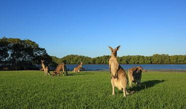 Eastern grey kangaroos green,blue,grass,group,feeding,alert,by river,trees,negative space,adults,Kangaroos and Wallabies,Macropodidae,Chordates,Chordata,Diprotodontia,Kangaroos, Wallabies,Mammalia,Mammals,Macropus,Terrestri