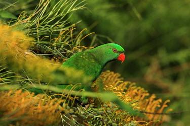 Scaly-breasted lorikeet Animalia,Chordata,Aves,Psittaciformes,Psittacidae,lorikeet,bright,bright green,bright red,eye,negative space