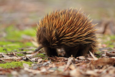 Short-beaked echidna adult,spines,protection,long nose,defence,leaf litter,walking,Mammalia,Mammals,Echidnas,Tachyglossidae,Monotremata,Platypus and Echidnas,Chordates,Chordata,Animalia,aculeatus,Tachyglossus,Least Concer