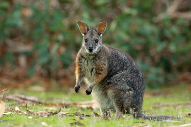Tammar wallaby adult,alert,big ears,negative space