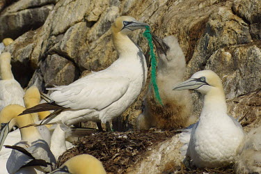 Adult gannet with a piece of rope stuck to her beak, but she was still able to fish and feed her chick. nature,trash,july,environment,nordland,environmental issues,marine litter,adult,chick,nest,feeding chick,colony,breeding colony,cliff,green rope,pollution,marine pollution,conservation issue,Aves,Bird