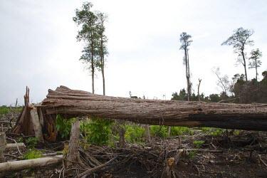 Fallen tree in Central Kalimantan deforestation,degraded forests,wood,trees,cut,forests,damaged,destroyed,land clearing,fire,burnt,burned,tropical forest,central,Central Kalimantan,Cutting,Deforestation,Degraded Forests,Forests,horizo