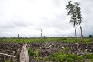 New growth in an area of forest that has been cleared deforestation,degraded forests,wood,trees,cut,forests,damaged,destroyed,land clearing,fire,burnt,burned,tropical forest,negative space,new growth,central,Central Kalimantan,Cutting,Deforestation,Degra