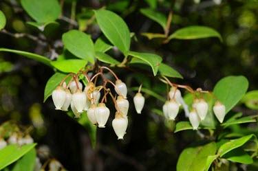 Forest flowers in Selimbau orchid garden plant,flower,close-up,forest,flora,rainforest,white flower,West Kalimantan,Sentarum