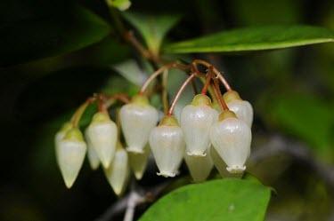 Forest flowers in Selimbau orchid garden plant,flower,close-up,forest,flora,rainforest,white flower,Sentarum,West Kalimantan