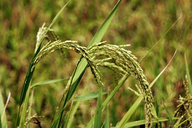 Rice plant rice,paddy,crop,agronomy,gunung simpang,community forestry