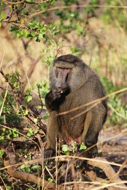 Olive baboon sitting on a branch enjoying a snack branch,portrait,feeding,eating,sitting,Primates,Old World Monkeys,Cercopithecidae,Mammalia,Mammals,Chordates,Chordata,Appendix II,Least Concern,Omnivorous,Terrestrial,Forest,Animalia,anubis,Papio,Afri