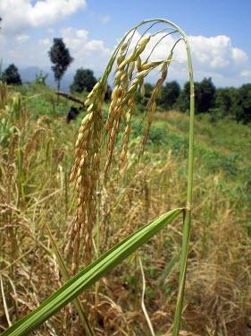 Rice plant ready to harvest rice,habitat,paddy,field,grain,grains,ripe,harvest,indonesia